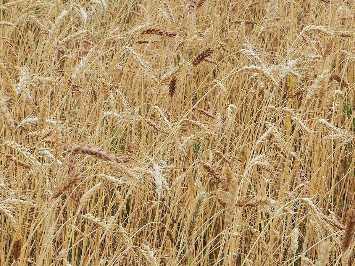 Le Croissant Fertile, champ de blé