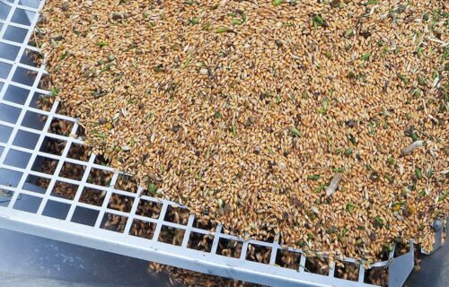 Le Croissant Fertile, blé avant le tri