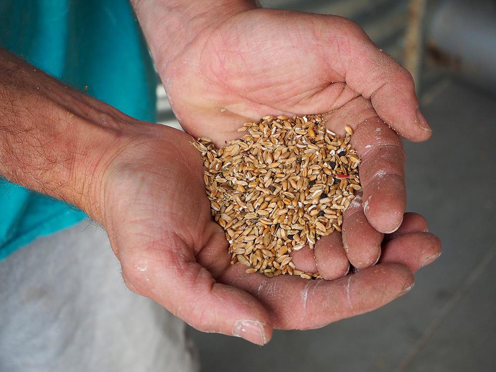 Le Croissant Fertile Le blé à poule