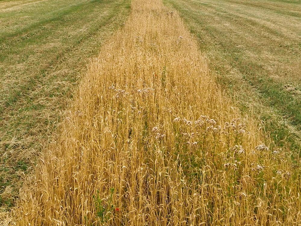 Le Croissant Fertile, la variété des blés